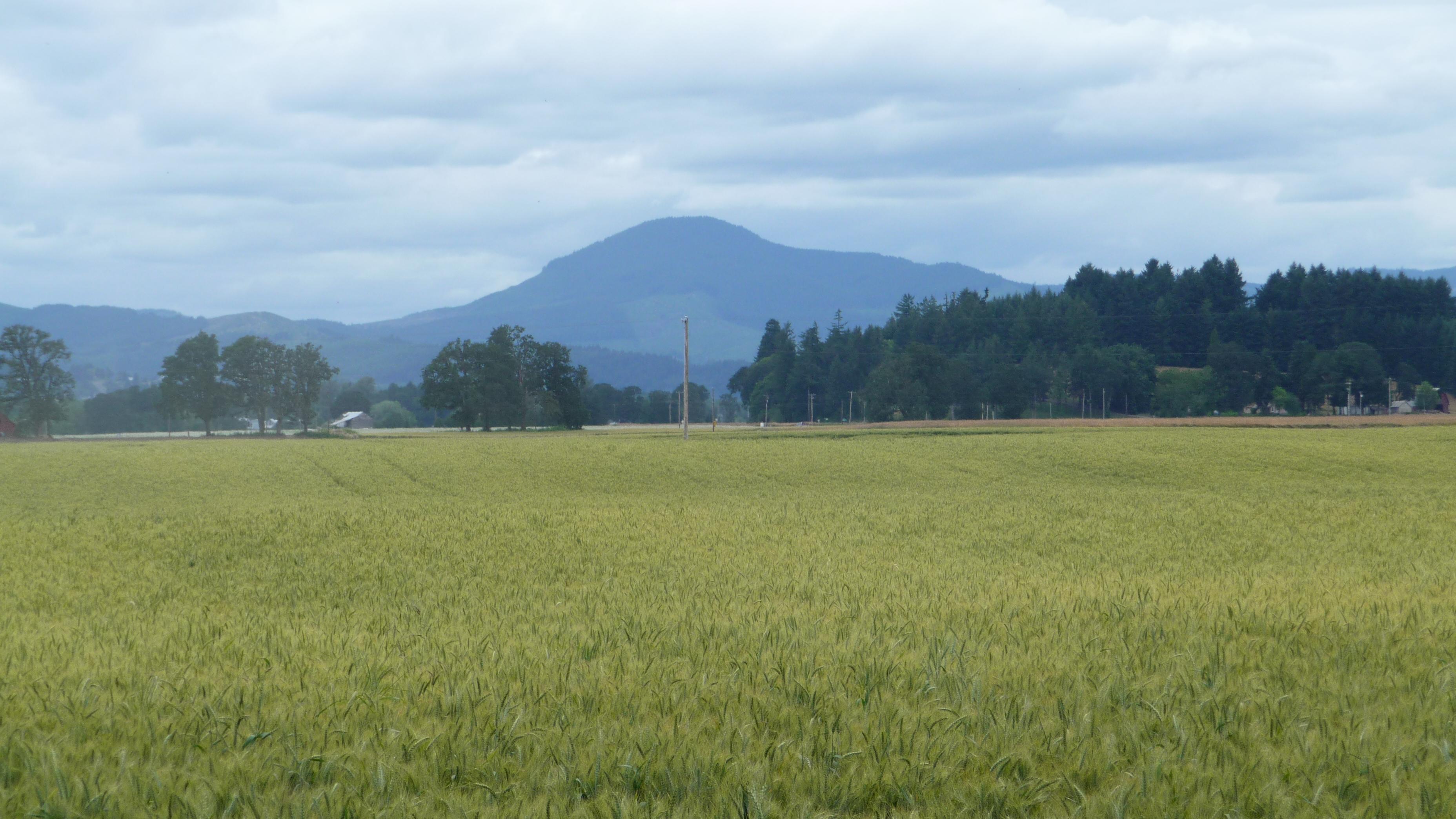 001 GLTHorning Wheat